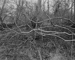 Grounded Branches (Hyons Wood).Walker Titan SF with Rodenstock 150mm Lens, 1 sec @ f32, Ilford Delta 400 in FX39 (Jonathan Carr) Tags: tree trees ancientwoodland hyonswood largeformat monochrome blackandwhite walkertitansf delta100 landscape rural northeast 4x5 5x4