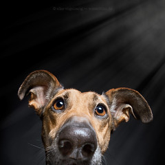Stagefright (Wieselblitz) Tags: dog dogs dogphotography dogphotographer dogportrait doginthestudio stage actor stagefright fright light pet pets petphotography petportrait petphotographer ears ear earsfunny earsdog emotion character personality dogsonality limelight