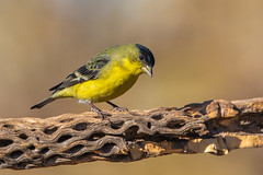 Lesser Goldfinch Male (gilamonster8) Tags: wood bokeh beak natuesbest chollacactuswood wing canon ngc flickr animal tucson 5dmarkiv feather 150x600 sigma perched lessergoldfinch perch bird naturetop cactus arizona eos yellow finch male