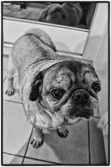 KIKO (AEON VON ZARK) Tags: dog portrait photographie photography photo photographe project photographer posing bienne monochrome