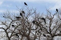 February 12, 2019 - A big murder of crows. (Bill Hutchinson)