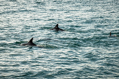 Dolphins - not sharks! (Winniepix) Tags: dolphins river stmawes water fin fal winniepix cornwall pod sea