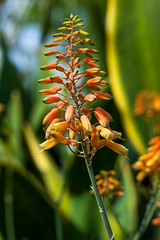 Bulbine (yc4646) Tags: bulbinenatalensis liliopsida magnoliophyta angiospermes bulbine floweringplants monocotyledons monocotylédones phanérogames plantesàfleurs plantesàfruits plants singapore