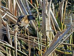 Polluela bastarda (Porzana parva) (3) (eb3alfmiguel) Tags: aves acuaticas gruiformes rallidae polluela bastarda porzana parva