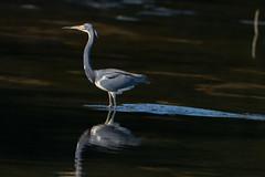 Into the night (ChicagoBob46) Tags: tricoloredheron heron bird jndingdarlingnwr florida sanibel sanibelisland nature wildlife naturethroughthelens coth5 ngc npc