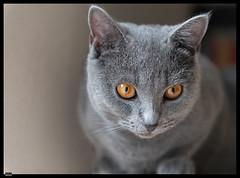 Ursus (3) (***RM***) Tags: kartouzská kočka cat cats animals portrait indoor nikon d850 nikkor 2470mm georglouisleclercdebuffon exotic mazlíček kočkadomácí chovatel feliscatus french francaise chartreux
