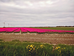 Endless tulip fields in the polder ... (134110791) (Le Photiste) Tags: clay endlesstulipfieldsinthepolder flevopolderthenetherlands deabbertdrontenthenetherlands nature naturesprime rainbowofnaturelevel1red planetearthnature planetearth motorolamotog cellography mobilesnaps clouds tulips tulipfields nederland mostrelevant mostinteresting perfectview perfect beautiful afeastformyeyes aphotographersview autofocus artisticimpressions beautifulcapture blinkagain bestpeople'schoice creativeimpuls cazadoresdeimágenes digifotopro damncoolphotographers digitalcreations django'smaster friendsforever finegold fairplay greatphotographers groupecharlie peacetookovermyheart clapclap hairygitselite ineffable infinitexposure iqimagequality interesting inmyeyes livingwithmultiplesclerosisms lovelyflickr lovelyshot myfriendspictures mastersofcreativephotography momentsinyourlife niceasitgets ngc photographers prophoto photographicworld photomix soe simplysuperb showcaseimages simplythebest simplybecause thebestshot theredgroup thelooklevel1red vividstriking wow worldofdetails yourbestoftoday landscape dutchlandscape simplypink