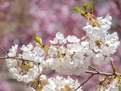 Hanami time! (Princess Ruto) Tags: cherryblossom flower sakura pink white leaves plant tree canon5dmarkiv canon zoomlens beautiful spring color colorful prunusokame prunusyedoensis