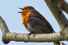Robin (dav1dwood) Tags: robin redbreast bird branch tree beak wings