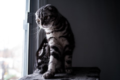 Spring (n8fire) Tags: ica scottish fold cat fujixt3 fujinonxf16mmf14rwr