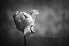 B&W Tulip (Janet_Broughton) Tags: burnside35 lensbaby tulip textured blackandwhite monotone flower floral