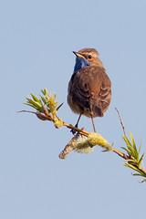 Blauwborst/Bluethroat (Luscinia svecica) (gipukan (rob gipman)) Tags: bluethroat blauwborst lusciniasvecica 5dmarkiv arrived sumerstay 177a0150 netherlands overwinter arnenheem reeds riet