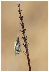 Bee Fly - Bombylius major. (nigel kiteley2011) Tags: bee fly bombylius insect macro nature canon 5dmk3 canoneos5dmk3