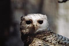 1991 Zoo Berlin Eule (rieblinga) Tags: eule zoo berlin west gehege 1991 raubvogel analog canon eos 100 agfa ct100i diafilm e6