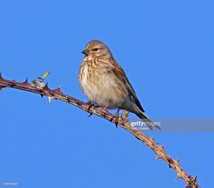 Linnet female (Gary Chalker, Thanks for over 4,000,000. views) Tags: linnet bird female pentax pentaxk3ii k3ii pentaxfa600mmf4edif fa600mmf4edif fa600mm 600mm