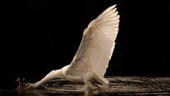 Great egret - grande aigrette (thomas.guillaume.tlse) Tags: domainedesoiseaux greategret grandeaigrette oiseau pêche ailes plumes eau water wings