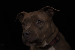 Molly (Cruzin Canines Photography) Tags: animal animals canon canoneos5ds canon5ds canine 5ds eos5ds dog dogs pet pets pitbull pit pitbullterrier terrier americanpitbullterrier molly portrait lowkey colorado coloradosprings