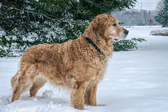 Bosun Enjoying the Snow Left by Gia (stevebfotos) Tags: bosun goldenretriever dog canine lewes delaware