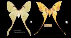 Actias maenas_DSC4963 (achrntatrps) Tags: saturnidae saturnidés comet comète actiasmaenas alexandre dellolivodellolivophotographephotographernikonachrntatrpsachrntatrpsradon200226radond500nikkor 2470mm f28 g saturninii bombycoidea lepidoptera insecta arthropoda animalia silkmoth moth butterfly cometmoth falter