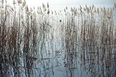 Reed @ Lake Annecy @ Petit Port @ Annecy-le-Vieux (*_*) Tags: europe france hautesavoie 74 annecy annecylevieux january winter hiver 2019 morning lac lake petitport lacdannecy lakeannecy sunny savoie fog