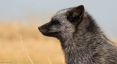 Silver Fox 3 (Melissa M McCarthy) Tags: silverfox fox silver black animal nature outdoor wildlife wild grey gray white cute profile portrait side view closeup eyesclosed windy wind cold winter blue yellow signalhill stjohns newfoundland canada canon7dmarkii canon100400isii