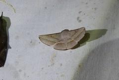 Oenochroma decolorata (Cephonodes) Tags: tralian geometridae oenochrominae
