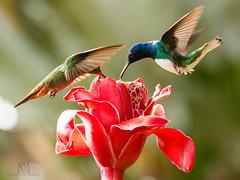 hummies' face-off (marianna armata) Tags: hummingbird tiny fast bird fauna costarica mariannaarmata exotic vibrant soc etlingeraelatior alsoknownastorchginger gingerflower redgingerlily torchlily wildginger