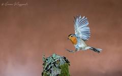 Landing time (Simone Mazzoccoli) Tags: robin wild wildlife birds birdwatching highspeed nature outdoor