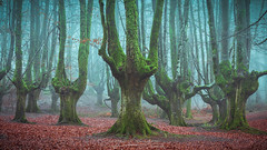 Gigantes del Bosque (www.jorgelazaro.es) Tags: tronco paisaje hojas frio bosque forest hayedo landscape niebla invierno árbol mágico otzarreta naturaleza ceánuri vizcaya españa es