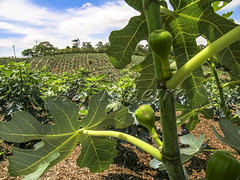 Alf 0001 - 0471 (Alf Ribeiro) Tags: agribusiness agriculture brazil rural agricultural america crop cut farm farmland field fig figs food fresh fruit green immaturity leaves nature outdoor plant production raw south tree
