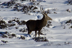 Red Deer Stag in Profile (steve_whitmarsh) Tags: aberdeenshire scotland scottishhighlands highlands mountain winter snow animal nature wildlife reddeer stag glen cairngorms topic