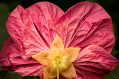 Back of Small Hibiscus 3-0 F LR 2-24-19 J070 (sunspotimages) Tags: flower flowers hibiscus pink pinkflower pinkflowers pinkhibiscus nature macro closeup