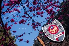 D68_4015 (brook1979) Tags: 台灣 台中 泰安 警察局 櫻花 春天 花季 粉 紫 taiwan taichung flower sakura 八重櫻