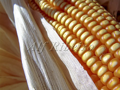 Alf 0006 - 0469 (Alf Ribeiro) Tags: agribusiness agriculture cereal closeup corn macro agricultural background breakfast cob cook cooking crop cuisine culture delicious diet ear eat farm food fresh freshness fruit golden grain harvest health healthy husk ingredient leaf maize meal natural nature nice nutrition organic plant raw ripe stem straw sweet tasty vegetable vegetarian vitamin yellow milho
