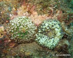 24-IMG_8282 (adrienweckel) Tags: adrienweckel cnidaires corallimorphaireverruqueux rhodactisosculifera
