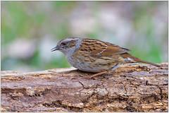 Passera scopaiola (Fausto Deseri) Tags: dunnock prunellamodularis passerascopaiola wildlife nature birds wild tivolimanzolino nikond500 nikkor300mmf28afsii nikontc17eii faustodeseri