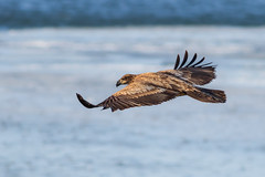 Bald Eagle (Lynn Tweedie) Tags: baldeagle ef400mm56lusm tail water wing canon ngc animal blue 7dmarkii wyandottecountylake snow bird winter feathers eye eos lake beak ice