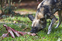Wild dog eating meat (Tambako the Jaguar) Tags: wilddog lycaon african painted dog canid canine profile portrait face eating food meat bones grass basel zoo zolli switzerland nikon d5