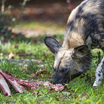 Wild dog eating meat thumbnail