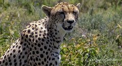 Ndutu national park, South Serengeti region, Tanzania (Gaston Batistini) Tags: ndutunationalpark southserengetiregion tanzania batistini gbatistini canon 5dsr