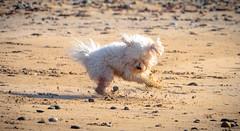 Sand Doggo (Silent Skies) Tags: dog sand beach scotland maltipoo puppy doggo