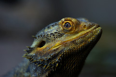 Bearded Dragon Looking Ever So Cool (SilvercellHawk) Tags: lizard reptile nature wildlife blur bearded dragon sand wood desert animals