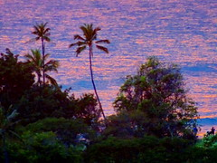 Sunset reflections in the ocean (not the sky) (peggyhr) Tags: peggyhr ocean coconuttrees blue pink closeup dsc05857a hawaii carolinasfarmfriends trees thegalaxy thegalaxystars sunset thegalaxyhalloffame thegalaxylevel2