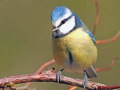 Herrerillo común  (Cyanistes caeruleus) (6) (eb3alfmiguel) Tags: aves pájaros insectívoros passeriformes paridae herrerillo común cyanistes caeruleus