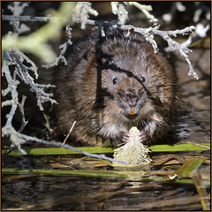 Water Vole (image 1 of 3) (Full Moon Images) Tags: wildlife nature animal mammal ratty water vole cambridge cambridgeshire