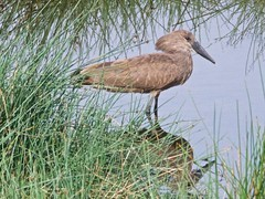 500_2497 (Bird Brian) Tags: hamerkop