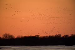 Sunset Cranes (jeff_a_goldberg) Tags: platteriver gruscanadensis wildlife kearney bif crane bird richardplautzcraneviewingsite sunset centralplatterivervalley sandhillcrane birdinflight nebraska nature shelton unitedstatesofamerica us