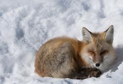 Sweet Winter Fox - 7848b+ (PhotoJenics by Jen Hall) Tags: red fox redfox jenniferhall jenhall jenhallphotography jenhallwildlifephotography wildlifephotography wildlife nature naturephotography photography nikon wild winter snow winterscene winterphotography winterfox wyoming wyomingwildlife