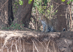 African Leopard (tickspics ) Tags: southluangwa zambia africanleopard africa felidae iucnredlistvulnerable luangwavalley pantherapardus pantherinae southluangwanationalpark