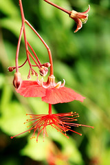 Red Flower (mahazda) Tags: flower prague praha botanical gardens troja red green mahazda canon eos pistil style hanging